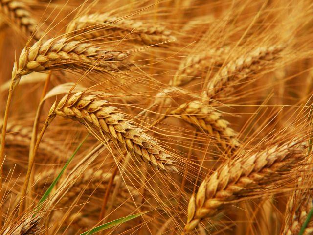 Яровая пшеница