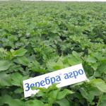 Картофель — Зеребра КХ Тамара Павлодарская область Казахстан
