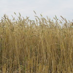 Пшеница яровая-Алтайский край-Зерно Алтая-1