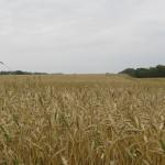 Пшеница яровая-Алтайский край-Зерно Алтая-2
