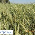 Яр. пшеница - Зеребра АО Нива Павлоградский район Омская область