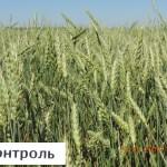 Яр. пшеница - контроль АО Нива Павлоградский район Омская область