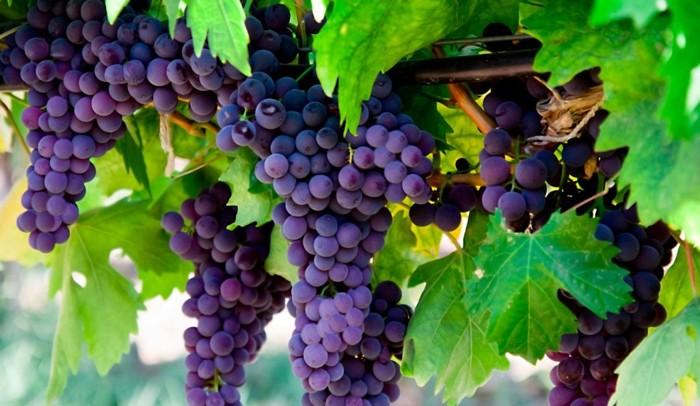 Удобрение винограда Зеребра Агро