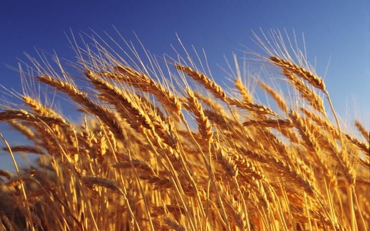Зебра - удобрение для пшеницы
