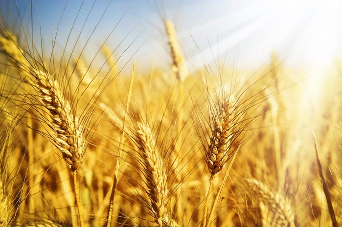 Яровая пшеница в поле