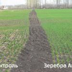 Озимая пшеница-Алтайский край-ООО Лига-1