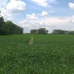 Озимая пшеница-Алтайский край-ООО Лига-2