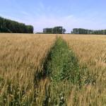 Озимая пшеница-Алтайский край-ООО Лига-3