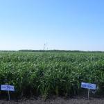 Озимая пшеница-Белгородская область-БЭЗРК-Белгранкорм-1