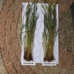 Озимая пшеница-Белгородская область-БЭЗРК-Белгранкорм-4