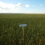 Озимая пшеница-Волгоградская область-Пас-1