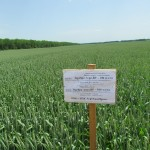 Озимая пшеница-Краснодарский край-ОИУ Бейсуг-1