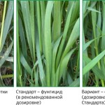 Озимая пшеница-Краснодарский край-ОИУ Бейсуг-3