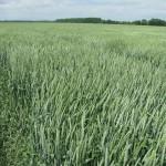 Озимая пшеница-Ростовская область-Развильнинское-1
