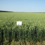 Озимая пшеница-Ставропольский край-ООО Плюс-1