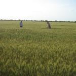 Озимая пшеница-Ставропольский край-ООО Плюс-2