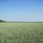 Озимая пшеница-Ставропольский край-ООО Плюс-3