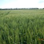 Озимая пшеница-Ставропольский край-Прикумская ОСС-1