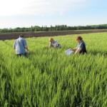 Озимая пшеница-Ставропольский край-СтавНИИСХ-1