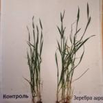 Пшеница яровая- Омская область-КФХ Варданян-1