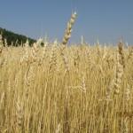 Пшеница яровая-Саратовская область-Новые выселки-1