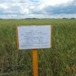 Пшеница яровая-Челябинская область-Силач-3