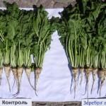 Свекла сахарная-Белгородская область-Русагро Инвест-4