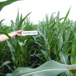Кукуруза Зеребра