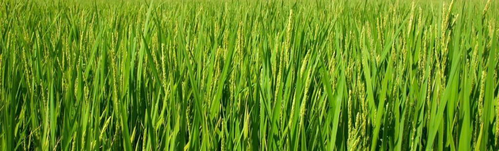 Удобрение риса