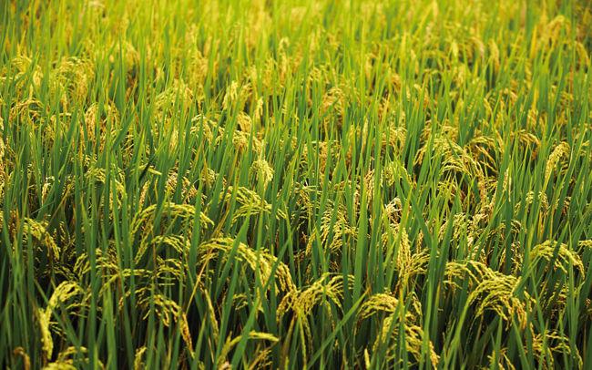 Удобрение рисовых полей