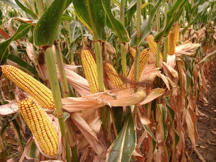 Минеральные удобрения кукурузы