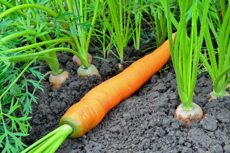 Удобрения под морковь
