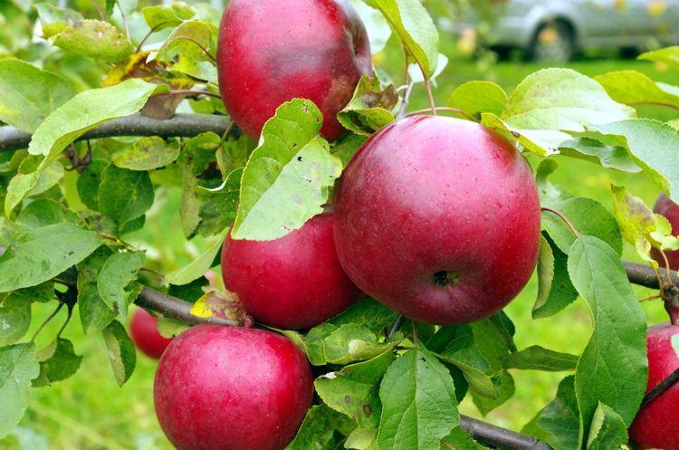 Удобрения под яблоню