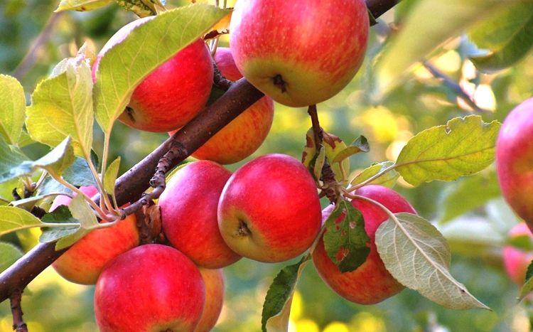 Яблоня при удобрении